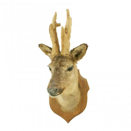 26296 Vintage Taxidermy, Roe Deer Trophy...