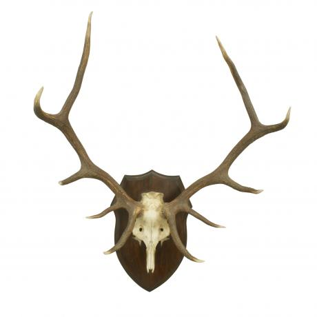 26364 Red Deer Antlers.
