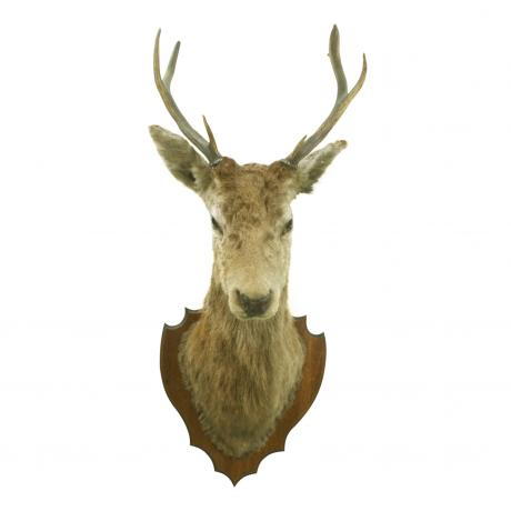 26449 Vintage Taxidermy, Stags Head.